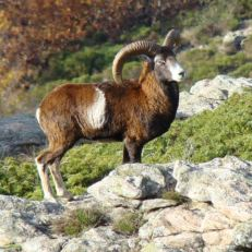 mouflon2